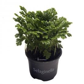 Bifurcación (Selaginella...