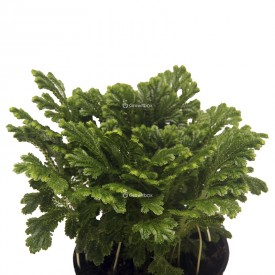 Gabelbart (Selaginella martensii) Pflanzen für den Wald im Einmachglas