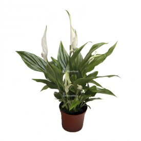 Mini spathiphyllum Plants for the forest in a jar