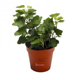 Efeu Hedera grün Pflanzen für den Wald in einem Gefäß