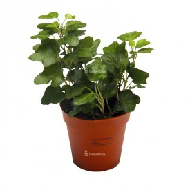 Ivy Hedera green Plants for the forest in a jar