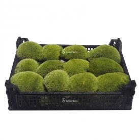 Muschio a cuscino vivo 9-12cm box Mosses