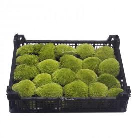 Muschio a cuscino vivo 5-8cm box Mosses