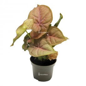 Syngonium Neon Robusta Plants for the forest in a jar