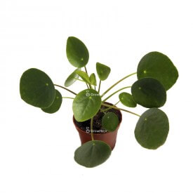 Coin (Pilea peperomioides) Plants for the forest in a jar