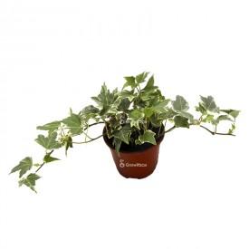 Efeu Hedera White (White) Pflanzen für den Wald in einem Glas