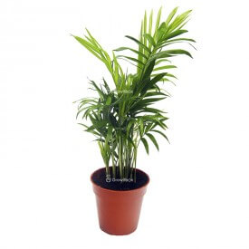 Chamedora palm Plants for the forest in a jar