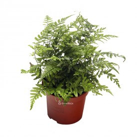 Athyrium fern Plants for the forest in a jar
