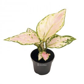 Aglaonema 'Pink Star' Plants for the forest in a jar