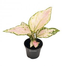 Aglaonema 'Pink Star' Piante per la foresta in un vaso