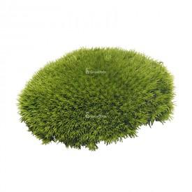 Pittima reale 5-8 cm muschio a cuscino Muschi