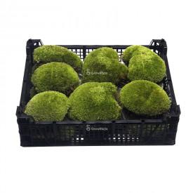 Muschio a cuscino vivo 13-16cm box Mosses
