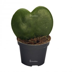 Hoja heart-shaped - Hoya kerrii Plants for the forest in a jar