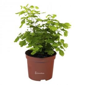 Farn adiantum Pflanzen für den Wald in einem Gefäß