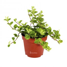 Peperomia rotundifolia Plants for the forest in a jar