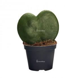 Herzförmige Hoja - Hoya kerrii Pflanzen für den Wald in einem Glas