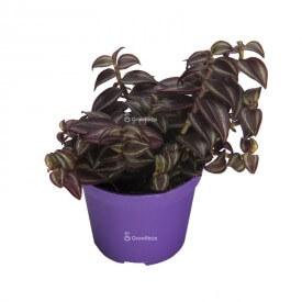 Margarita púrpura Plantas para el bosque en un frasco