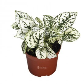 Hypoestes white - Weißes ährenblättriges Kanariengras Pflanzen für den Wald im Glas