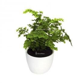 Adiantum fern in a white ceramic pot Plant world