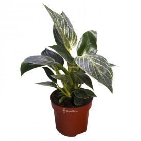 Philodendron 'birkin' Houseplants