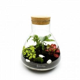 Set 31cm Fiddlehead mit phytonia mazedonischen Stein Wald in einem Glas DIY