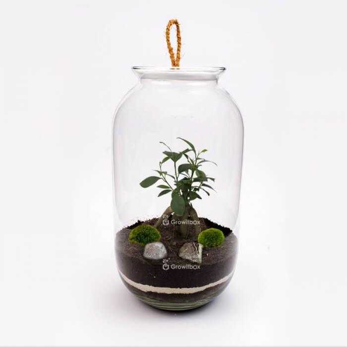 Jar 42cm Ficus cherry Forest in a jar DIY kits