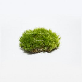 Live cushion moss (Polytrichum commune) Home