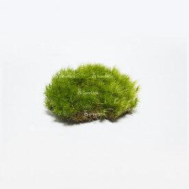 Żywy mech poduszkowy (Polytrichum commune) Strona główna