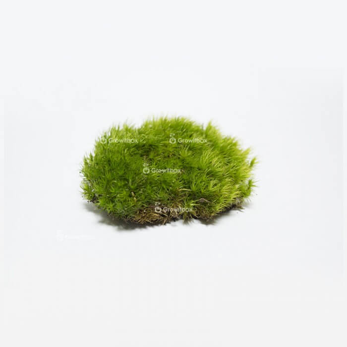 Live cushion moss (Polytrichum commune) Home
