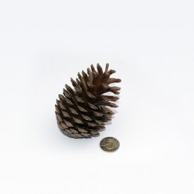 Natural large cone Accessories
