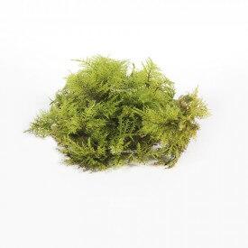 Fern moss Home