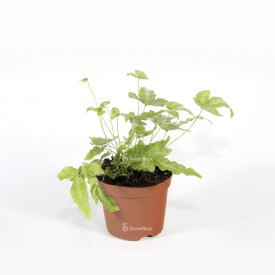 copy of Mini red Fern Home