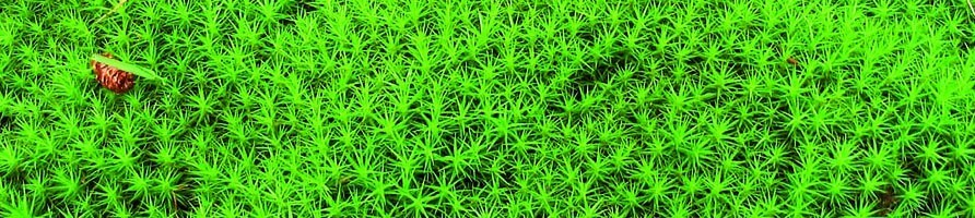 Cushion moss, tussock moss, white-striped vetch, Leucobtyum glaucum